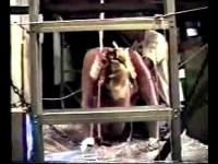Guinea Pigs # 5 - ZFX-P